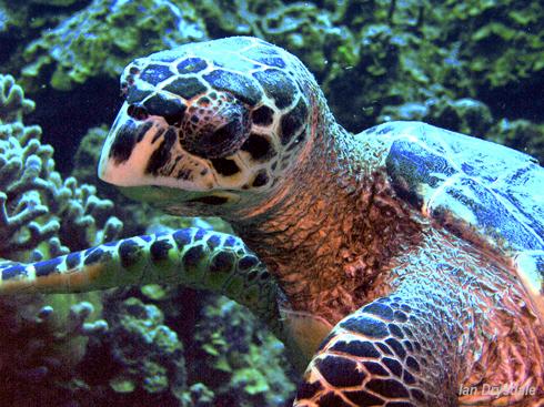 ian_drysdale_roatan_turtle