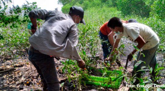 Comunidades del caribe de Guatemala participan en la conservación y restauración de manglares