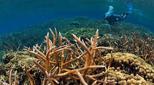 Banco Cordelia, un sitio que ofrece esperanza al Arrecife Mesoamericano