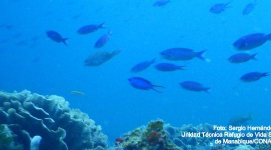 La conectividad ecológica es clave en el ciclo de vida de las especies que habitan el Arrecife Mesoamericano