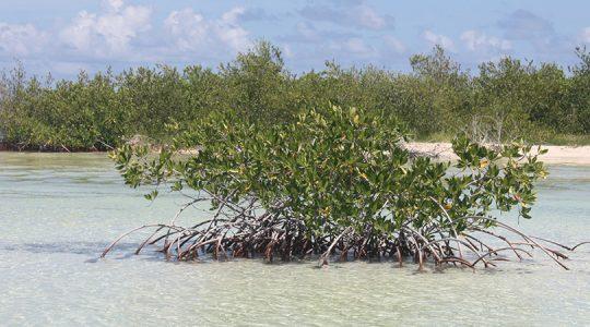 En el Caribe mexicano se está a un paso de emitir bonos de carbono azul